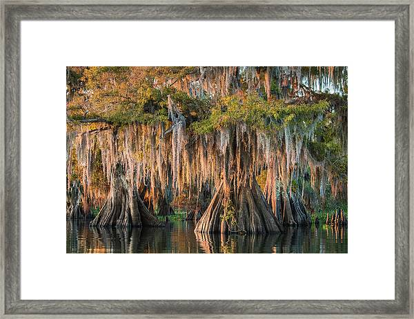 Louisiana Swamp Giant Bald Cypress Trees Two Framed Print