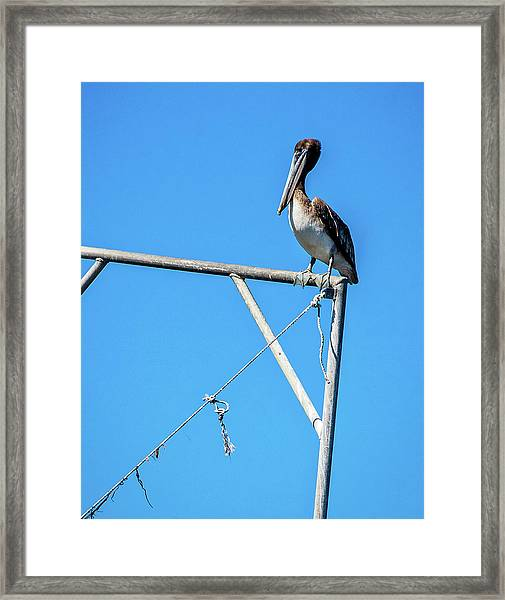 Louisiana's State Bird Framed Print