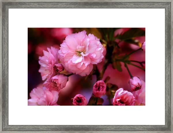 Lovely Spring Pink Cherry Blossoms Framed Print
