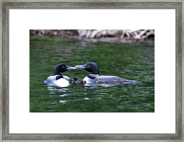 Loving Loon Parents Framed Print