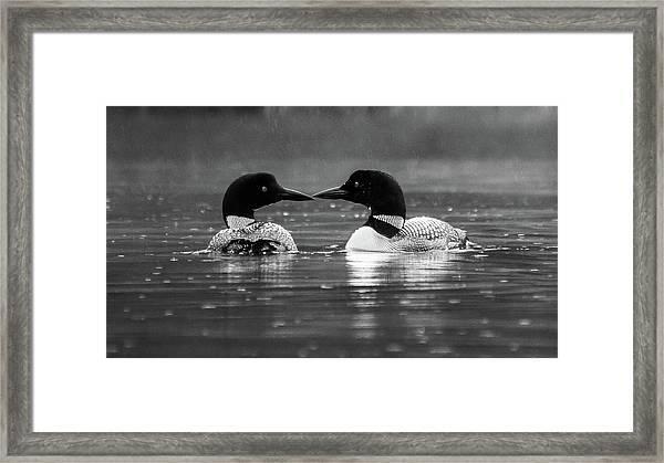 Loving Loons Framed Print