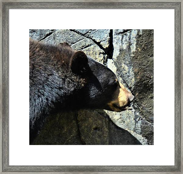 Lumbering Bear Framed Print