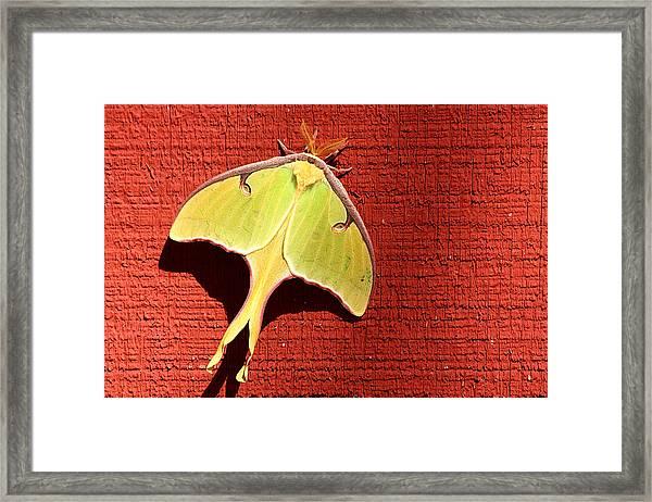 Luna Moth On Red Barn Framed Print