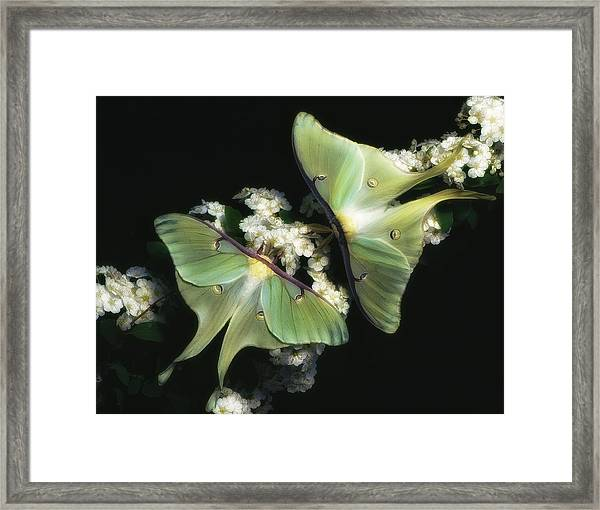 Luna Moths Framed Print