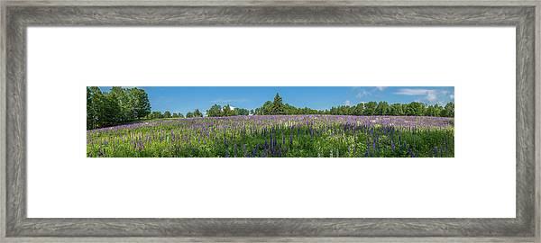 Lupine Field Framed Print