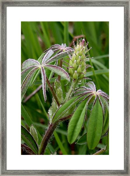 Lupine Bud Framed Print