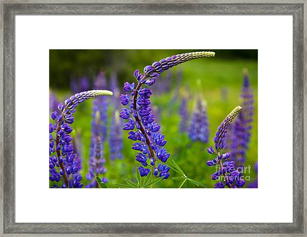 Framed Print featuring the photograph Lupine Curves by Susan Cole Kelly