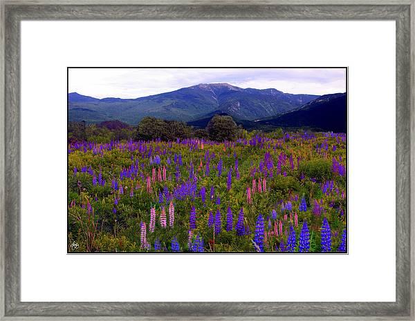 Lupine Field In Franconia Range Framed Print