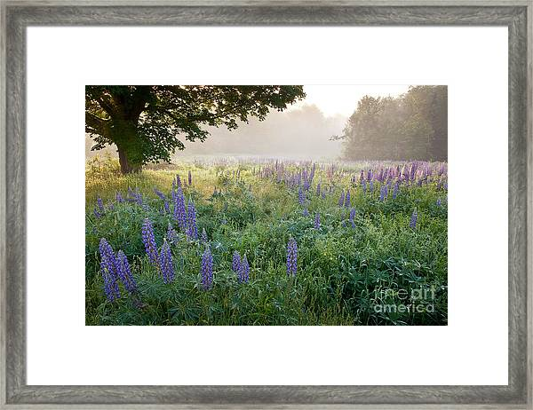 Framed Print featuring the photograph Lupine Field by Susan Cole Kelly