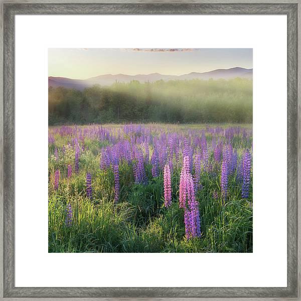 Lupine Morning Fog Square Framed Print