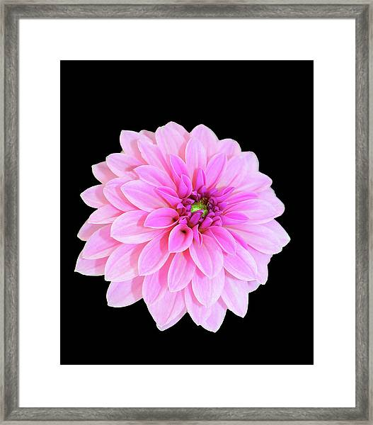 Luscious Layers Of Pink Beauty Framed Print