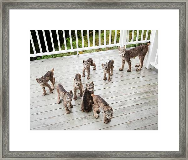 Lynx Family Portrait 11x14 Framed Print