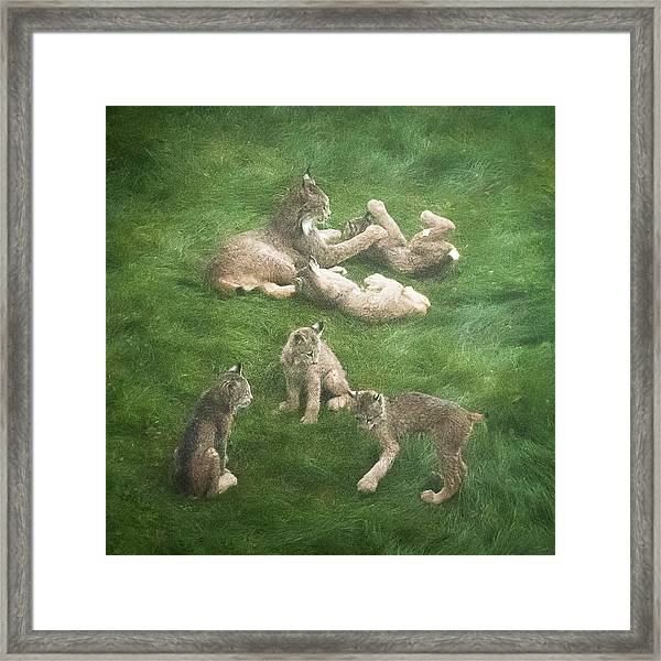 Lynx In The Mist Framed Print