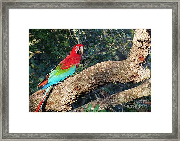 Macaw Resting Framed Print