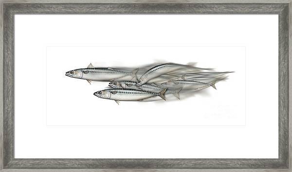 Mackerel School Of Fish - Scomber - Nautical Art - Seafood Art - Marine Art -game Fish Framed Print