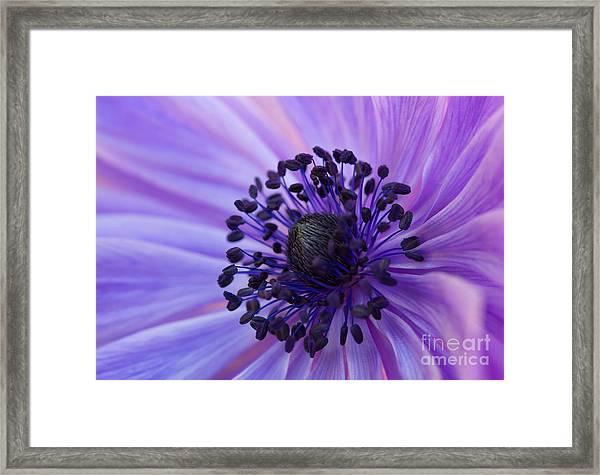 Macro Of Lavender Purple Anemone Framed Print