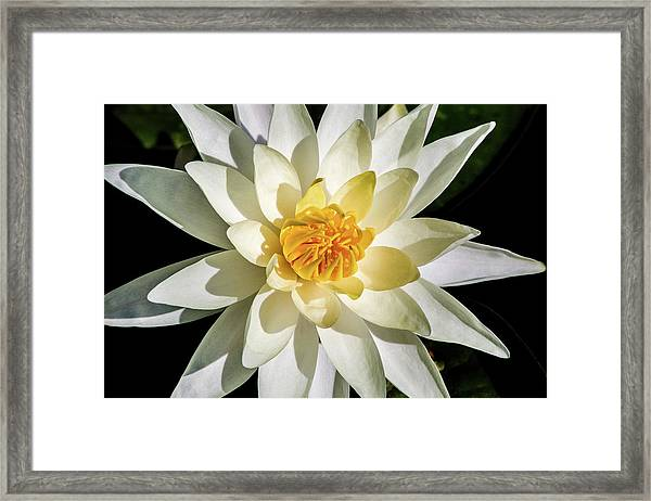 Macro Water Lily Framed Print