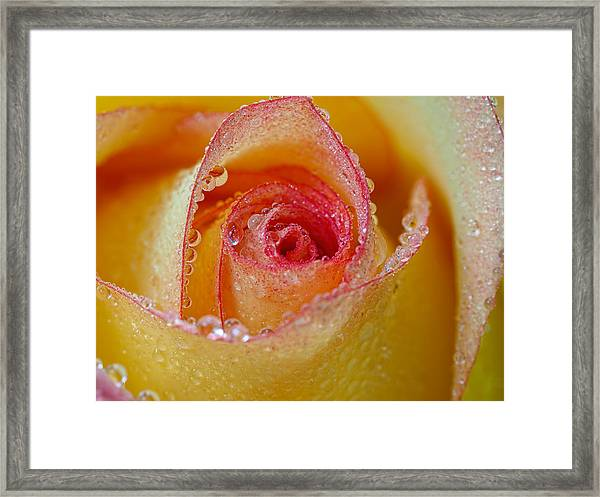 Macro Yellow And Red Rose Framed Print