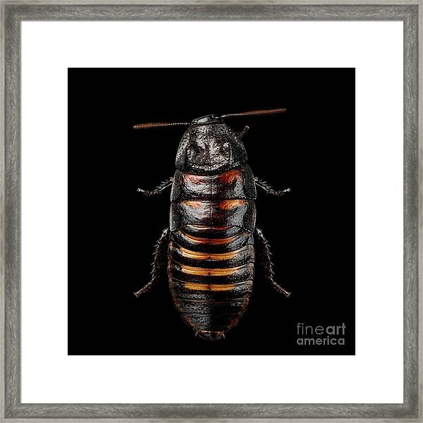 Madagascar Hissing Cockroach Framed Print