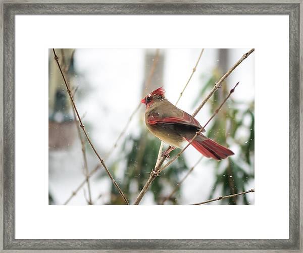 Madam Cardinal Framed Print