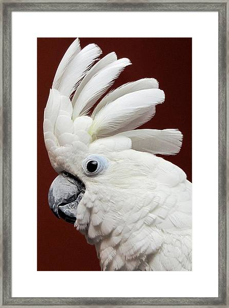 Framed Print featuring the photograph Maggie The Umbrella Cockatoo by Bob Slitzan