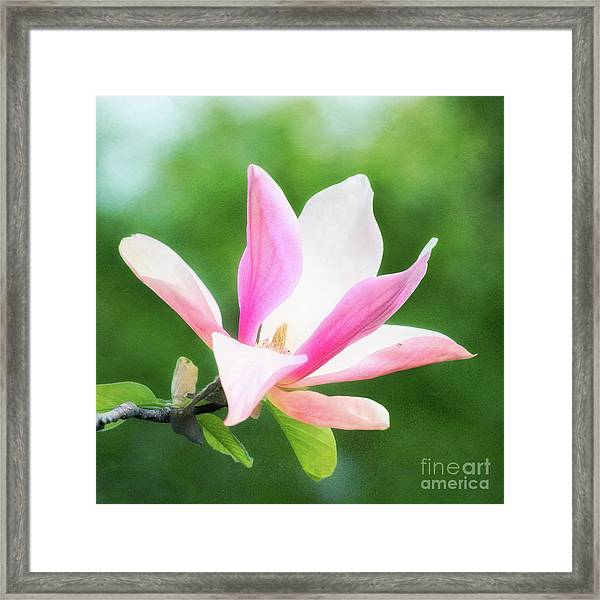Magnificent Daybreak Magnolia At Day's End Framed Print