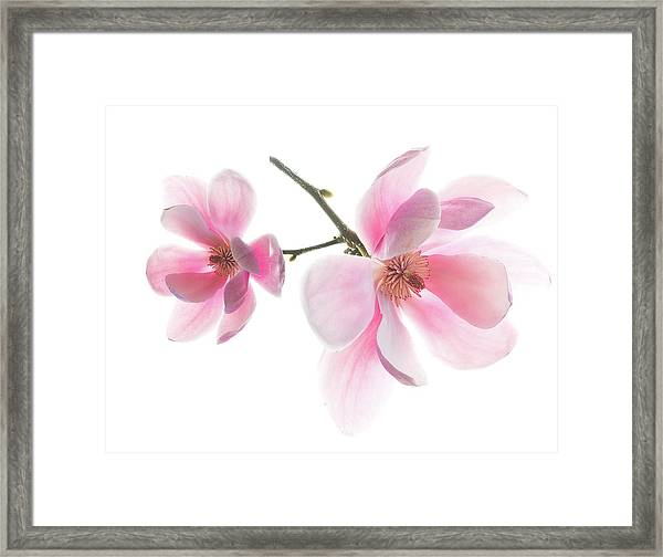 Magnolia Is The Harbinger Of Spring. Framed Print