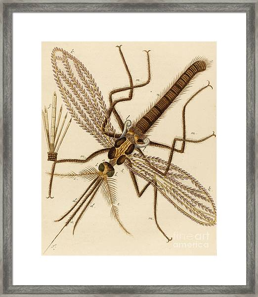 Magnified Mosquito Framed Print