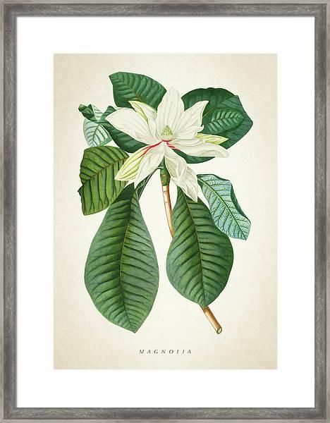 Magnolia Botanical Print Magnolia02 Framed Print