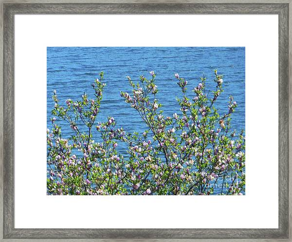 Magnolia Flowering Tree Blue Water Framed Print