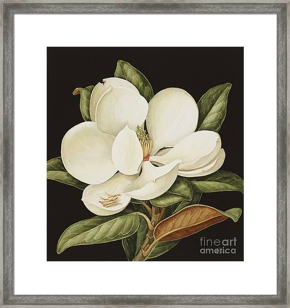 Magnolia Grandiflora Framed Print