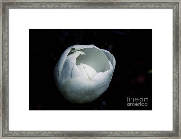 Magnolia In The Spotlight Framed Print