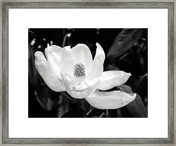 Magnolia Memories 3- By Linda Woods Framed Print