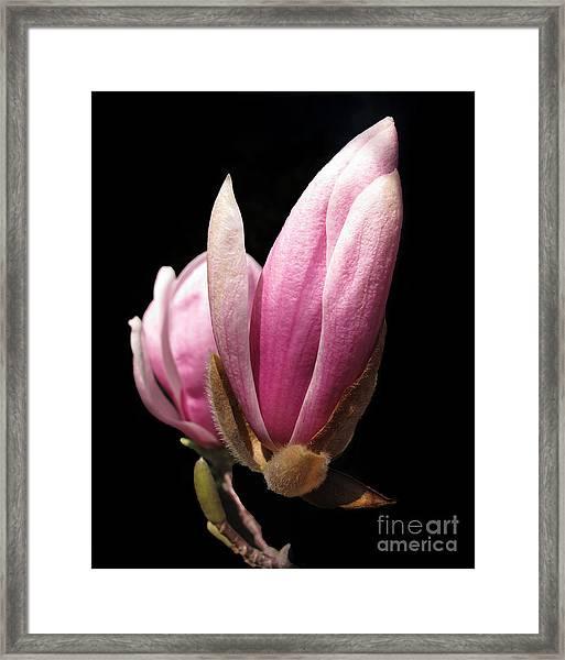Magnolia Tulip Tree Blossom Framed Print