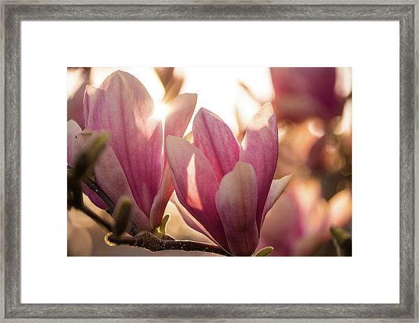 Magnolias At Sunset Framed Print