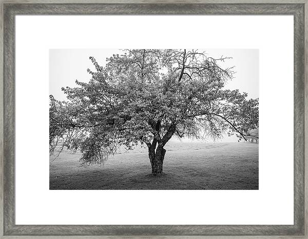 Maine Apple Tree In Fog Framed Print