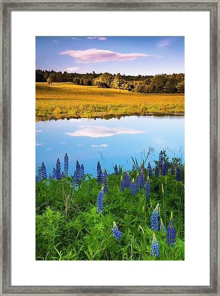 Framed Print featuring the photograph Maine Field Of Lupines by Ranjay Mitra