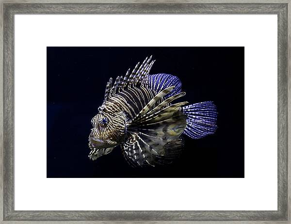 Majestic Lionfish Framed Print