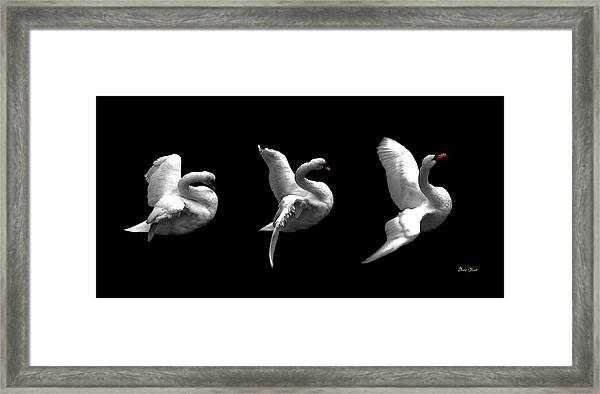 Majestic Swan Triptych Framed Print
