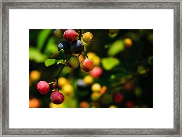 Making Blueberries Framed Print