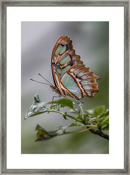 Framed Print featuring the photograph Malachite Butterfly Profile by Patti Deters