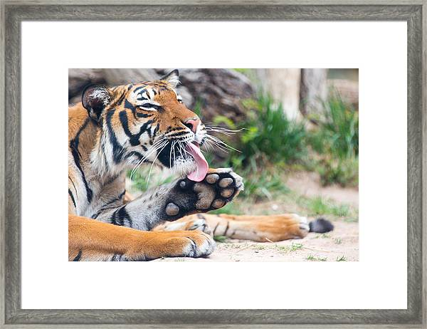 Malayan Tiger Grooming Framed Print