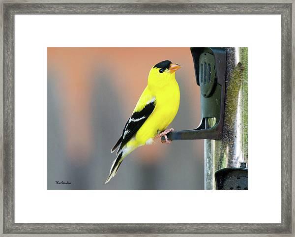 Male American Goldfinch Framed Print
