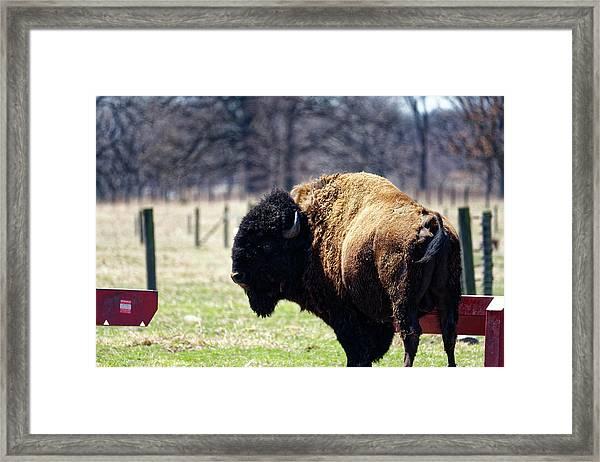 Male Bison Framed Print