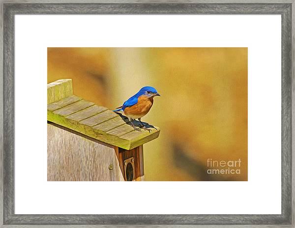Male Blue Bird Guarding House Framed Print