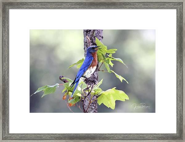Male Bluebird Framed Print