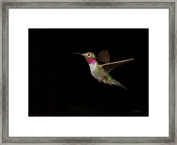 Male Broad-tailed Hummingbird Framed Print