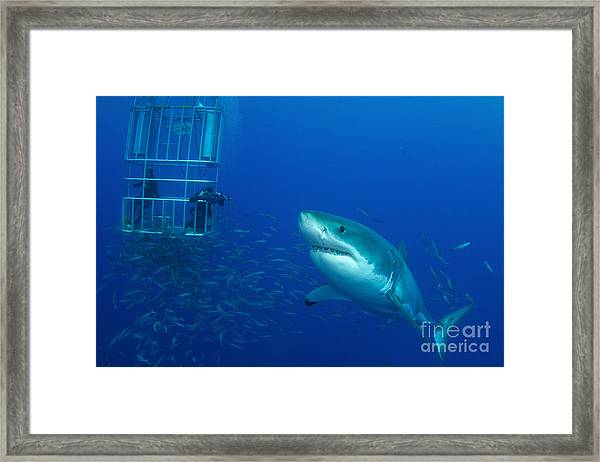 Male Great White Shark And Divers Framed Print
