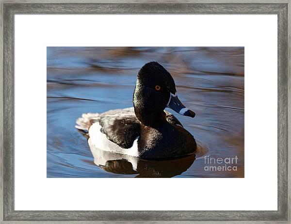 Male Ring-necked Duck Framed Print