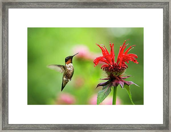 Male Ruby-throated Hummingbird Hovering Near Flowers Framed Print